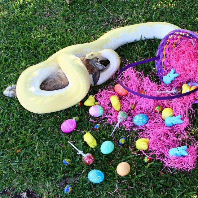 easter-bunny-eaten-by-snake